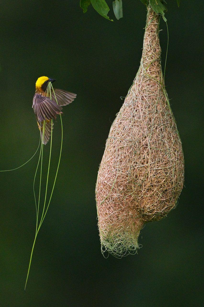 Orkanhaus. Bajaweber errichten ihre Nester aus dünnen, reißfesten Grashalmen. Die kunstvollen Bauwerke sind wasserfest und überstehen sogar heftige Tropenstürme, ohne abzureißen.